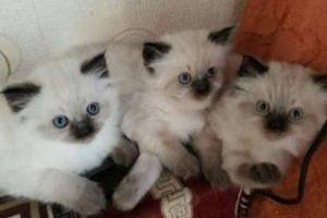 Ragdoll Katze in der Farbe Mitted Seal Pointed